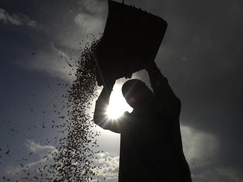 A Kashmiri Muslim woman winnows paddy during rice harvest in Srinagar. The harvest season in Kashmir has begun and is likely to yield a good crop. (Abid Bhat/HT Photo)