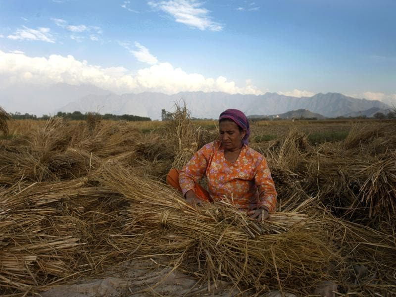 A Kashmiri woman works in a paddy field in Srinagar.  A good yield is expected this year.  (Abid Bhat/HT Photo)