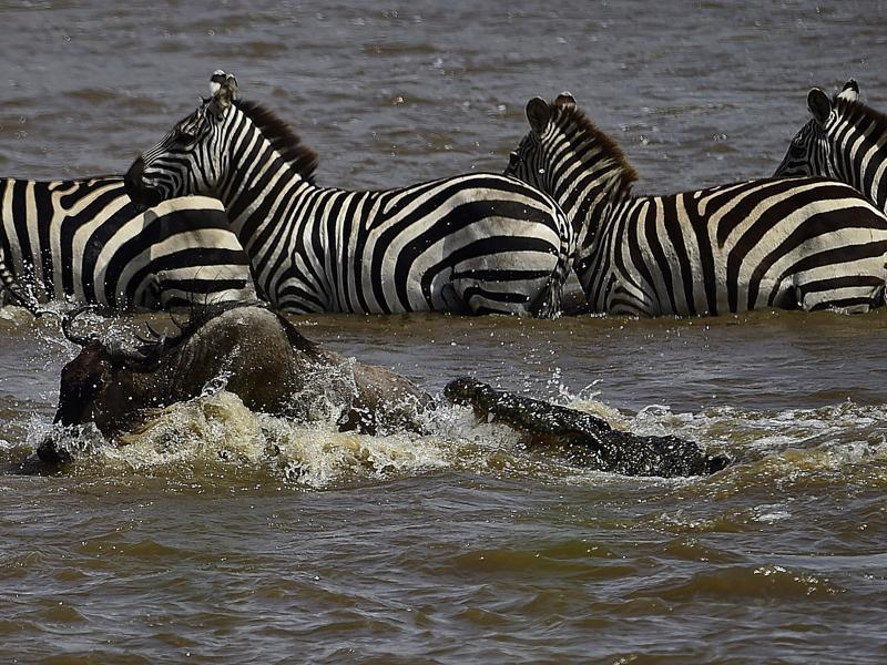 A crocodile attacks a wildebeest at a river crossing.  (AFP)