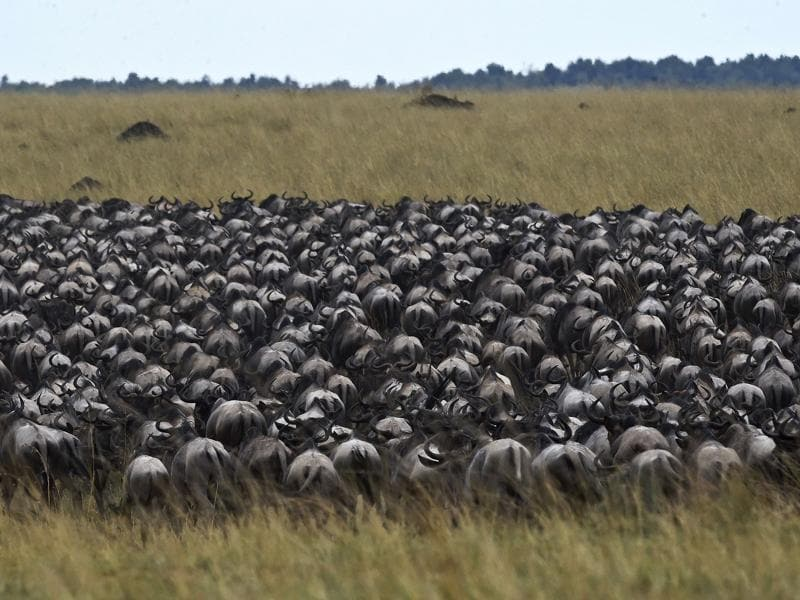 Survival of the fittest: Herds of wildebeest who've managed to cross over to the other side, the grasslands of the Masai Mara game reserve.  (AFP)