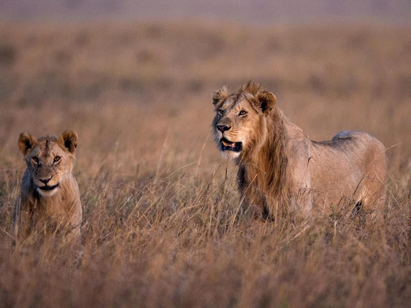 An adult and a cub stalking for their prey in the Masai reserve. Many migrating wildebeest fall prey to the Big 5 of the Masai region.  (EPA)