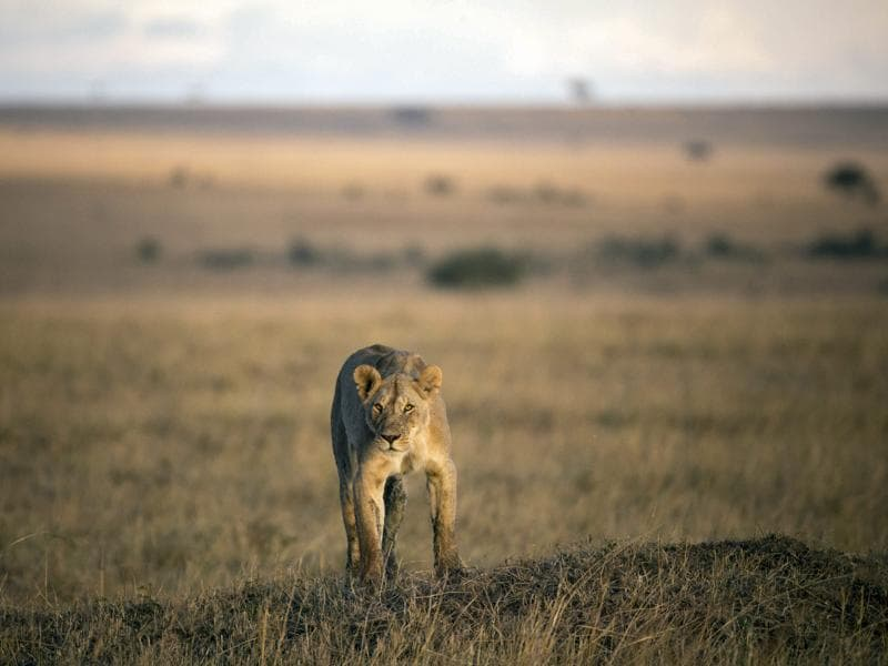 A lioness focuses on a group of Burchill's zebra in the distance from the top of an earth mound late in the afternoon in the reserve.  (EPA)