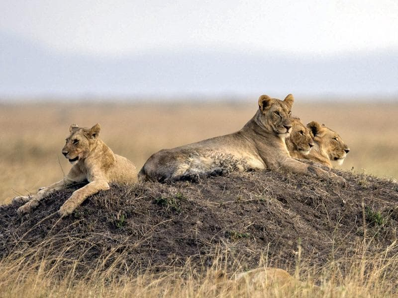 The Serengeti migration is known as one of the seven natural wonders of the world, making it a major draw for and tourists from around the globe.  (EPA)