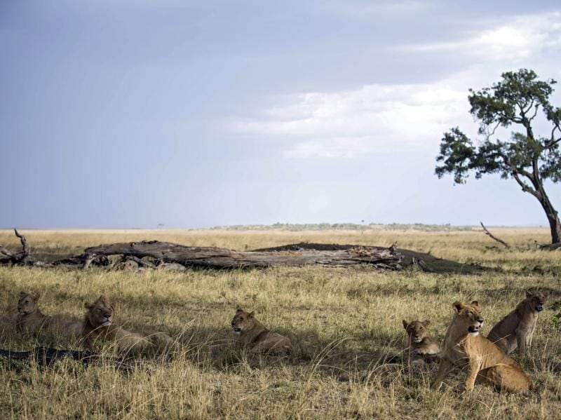 The pride resting in the shade of a tree, after a successful kill from among the thousands of migrating wildebeest and zebras.  (EPA)