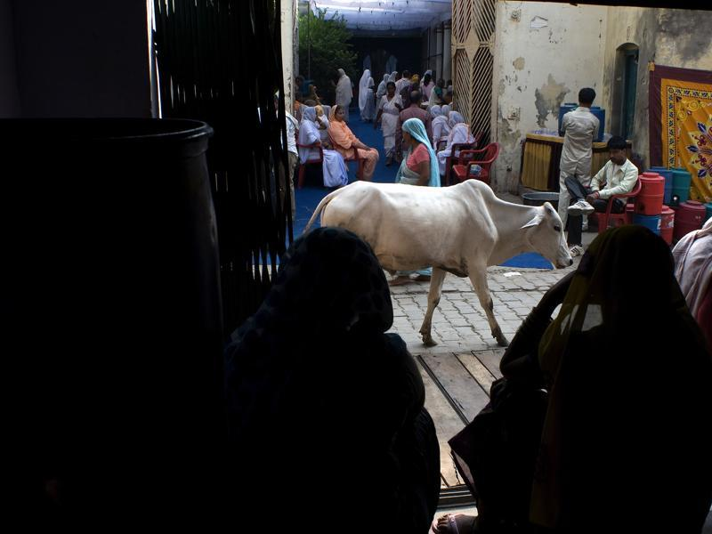 A cow walks in the street during preparations for Diwali celebrations at the Meera Sahabhagini Widows Ashram in Vrindavan. (AFP)