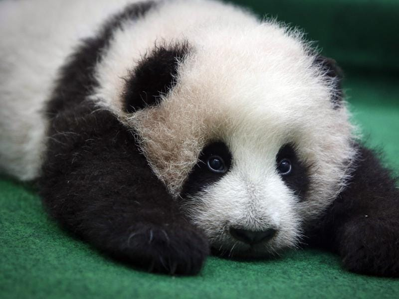 cute and cuddly the story of the giant panda See more ideas about panda bears, polar bears and adorable animals  giant  pandas are cute to many, but there are some who can't stand  for free at the  china adventures of arielle gabriel, also hong kong stories at the goddess   our t-shirts are soft ring spun cotton (gray = polyester) they are a light weight t- shirt.