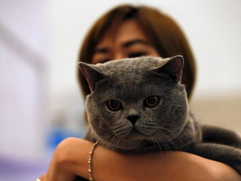Cat shows are getting popular in Thailand. (REUTERS)