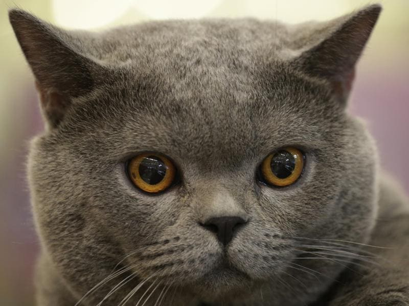 Blue Thunder, a two-year-old British Shorthair, owned by Thai visitor Chatchaneeporn Vatcharothayangkul, stares at the Thailand Cat Show in Bangkok.  (AP)