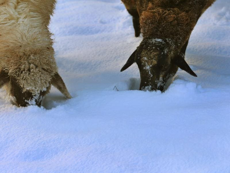 Two sheep search for fresh food under the snow on November 22, 2015 on a meadow near Apfeltrang, southern Germany.  (AFP)