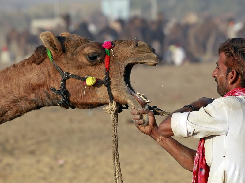 A camel herder removes the rope from the mouth of a camel at the Pushkar Fair in Rajasthan. (REUTERS)