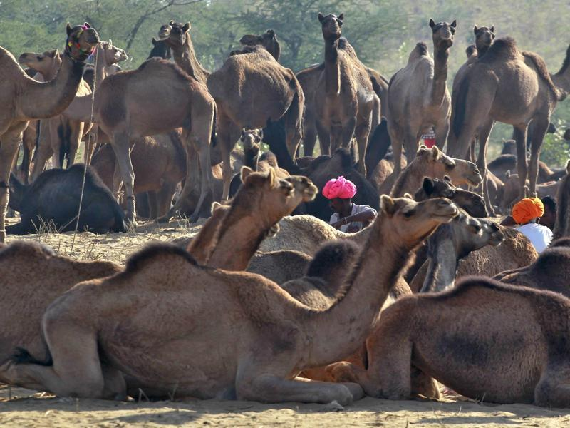Camel traders wearing traditional headgears sit amid their camels at the Pushkar Fair in Rajasthan. (REUTERS)