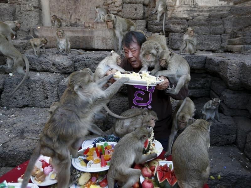 Long-tailed monkeys eat fruits from a plate held by festival organizer Yongyuth Kitwattananusorn during the annual Monkey Buffet Festival at the Pra Prang Sam Yot temple in Lopburi, north of Bangkok, Thailand November 29, 2015. (REUTERS)