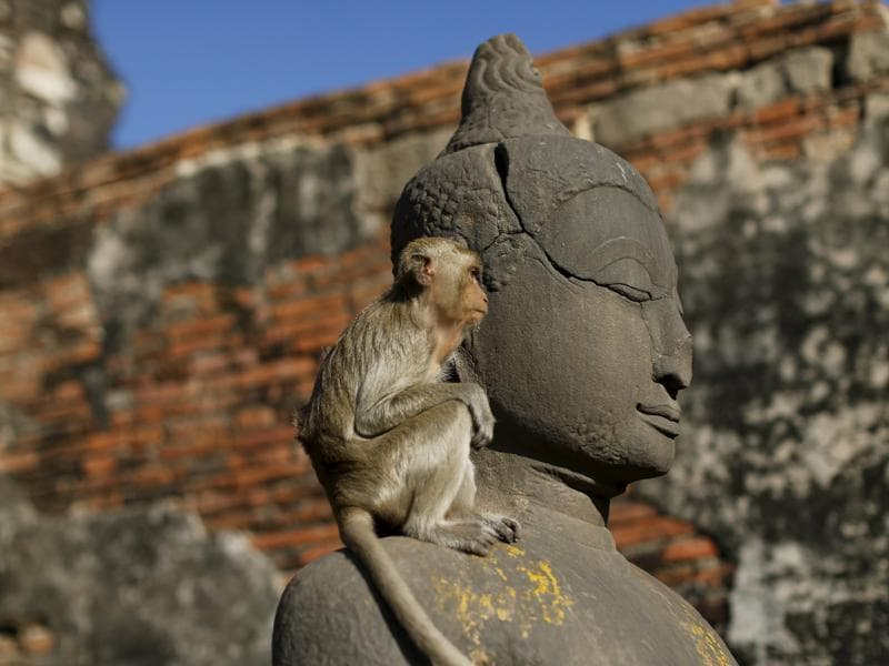 A long-tailed monkey is seen at the Pra Prang Sam Yot temple before the annual Monkey Buffet Festival in Lopburi, north of Bangkok November 29, 2015.  (REUTERS)