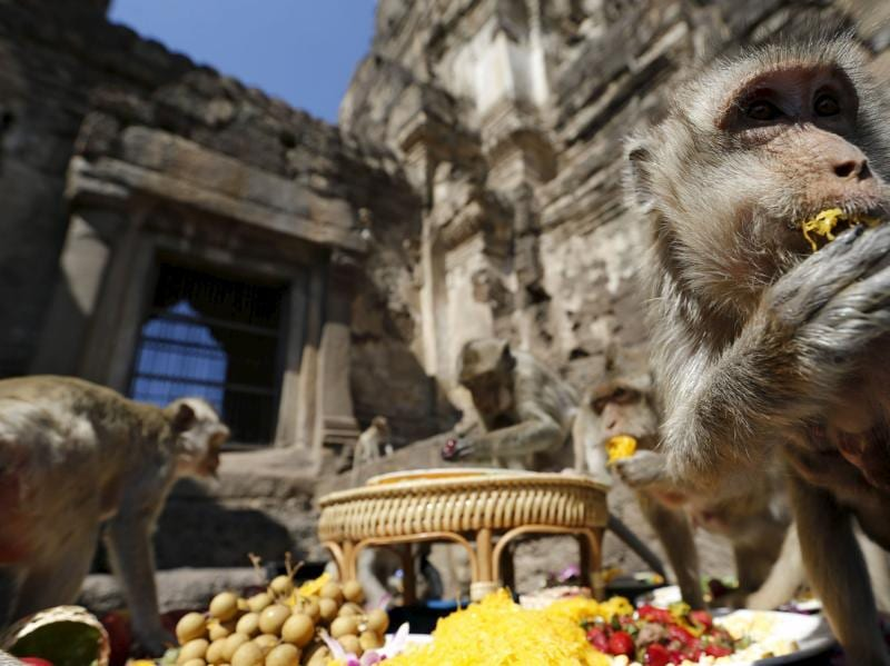 A monkey eats fruits during the annual Monkey Buffet Festival at the Phra Prang Sam Yot temple in Lopburi, north of Bangkok, November 29, 2015.   (REUTERS)