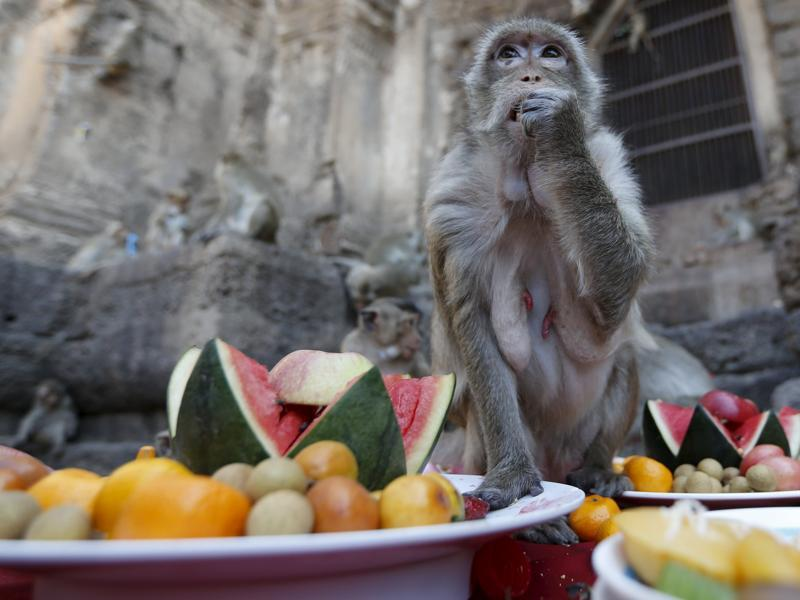 A monkey eats fruits during the annual Monkey Buffet Festival at the Phra Prang Sam Yot temple in Lopburi, north of Bangkok, November 29, 2015. People provide food and drinks to the local monkey population, amounting to more than 2,000 monkeys, during this festival to thank them for drawing tourists to the town.  (REUTERS)