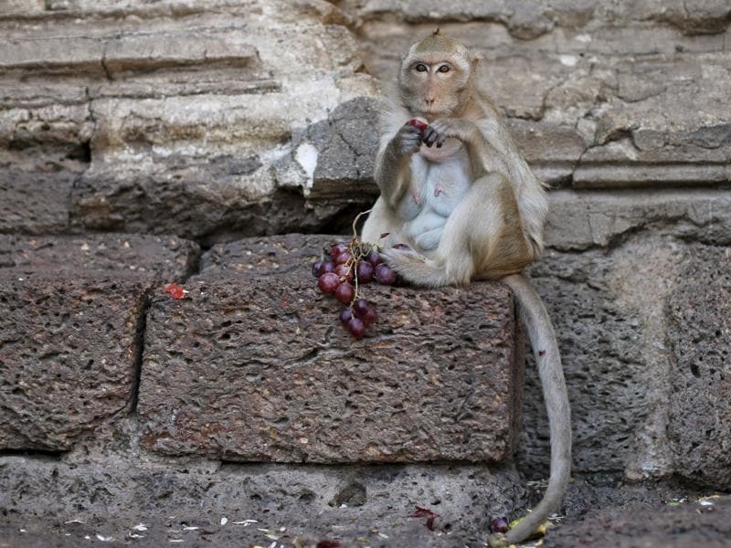A lmonkey eats fruit during the annual Monkey Buffet Festival at the Phra Prang Sam Yot temple in Lopburi, north of Bangkok November 29, 2015. (REUTERS)