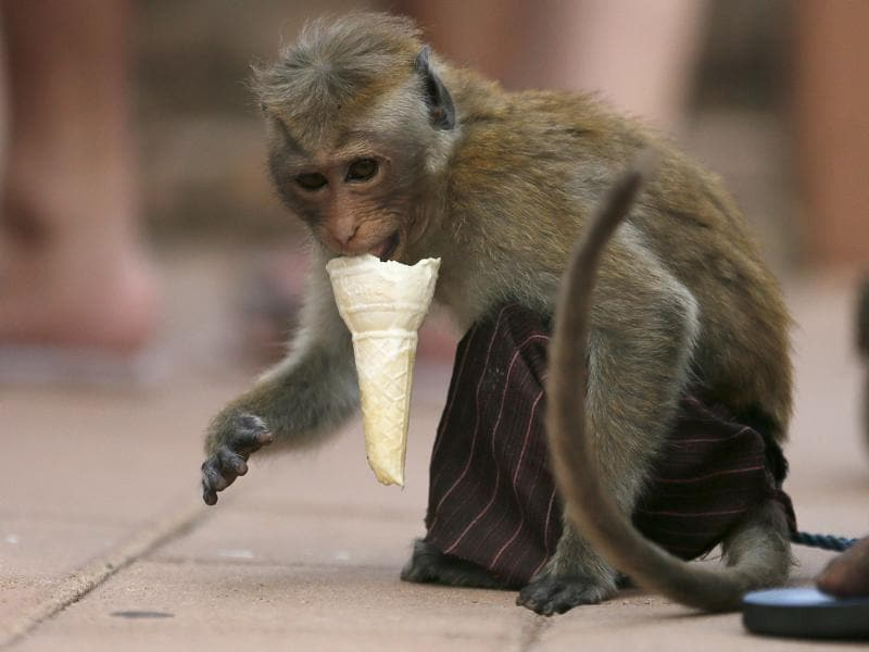 A monkey eats an ice cream cone offered by a man during a street circus show in Colombo November 29, 2015. (REUTERS)