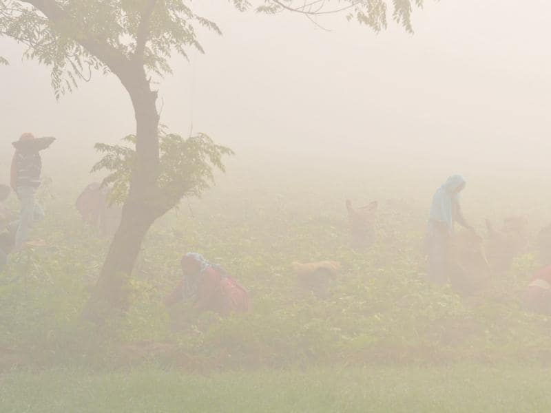 Labourers harvest potato crop even in dense fog in Talhan village on the outskirts of Jalandhar on Tuesday. (Pardeep Pandit/HT Photo)