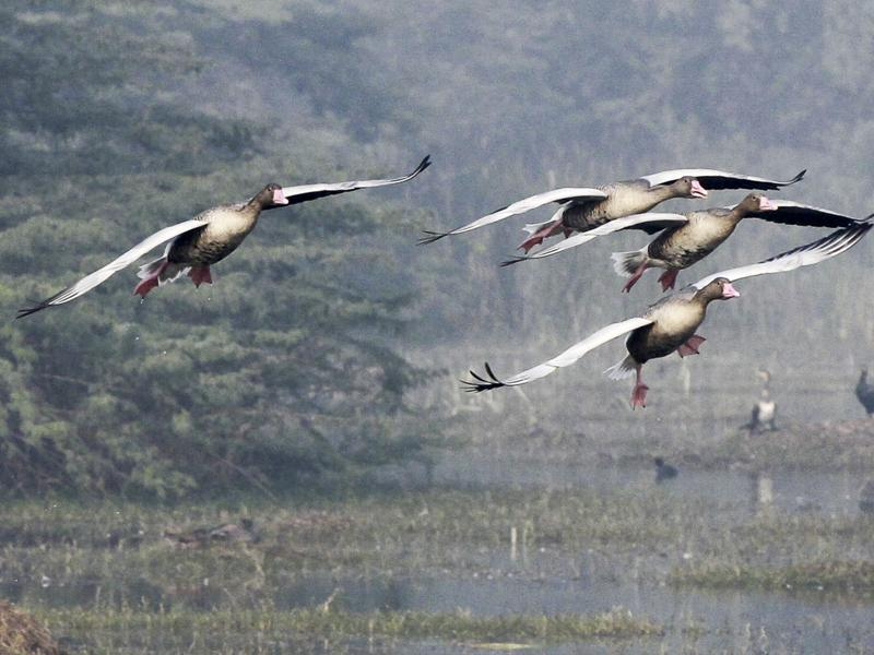 Sultanpur National park already has over 200 bird species, despite the late onset of winter and more birds are expected to fly in as temperature drops. (Sanjeev Verma/ HT Photo)