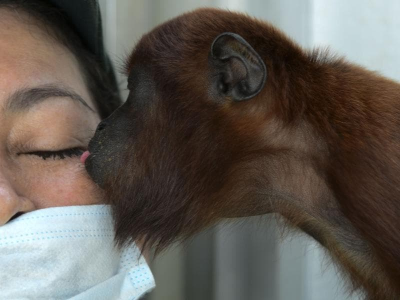 A baby red howler monkey kisses a volunteer during its recovery at the Santa Fe zoo in Medellin, Colombia on December 11, 2015. (AFP)