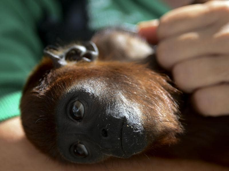 A volunteer checks a baby red howler monkey, during its recovery at the Santa Fe zoo in Medellin, Colombia on December 11, 2015. (AFP)