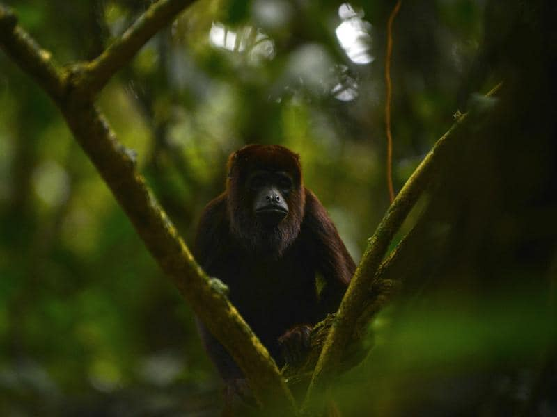 A red howler monkey is released in a protected forest area in Antioquia department, Colombia on December 14, 2015. (AFP)
