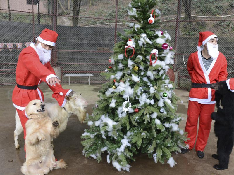 Trainers wearing Santa Claus costumes gather a dog (L), a goat and a black bear around a Christmas tree during a circus performance to celebrate Christmas, in Changsha, Hunan province, China. (REUTERS)