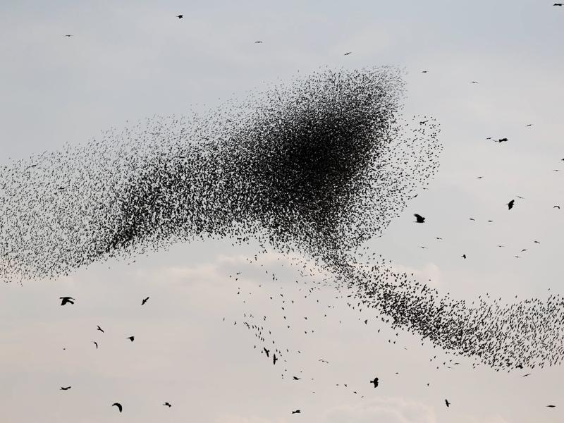 These migrating starlings embark on their spectacular aerobatics to help each other find food and to fend off predators, according to experts. (REUTERS)