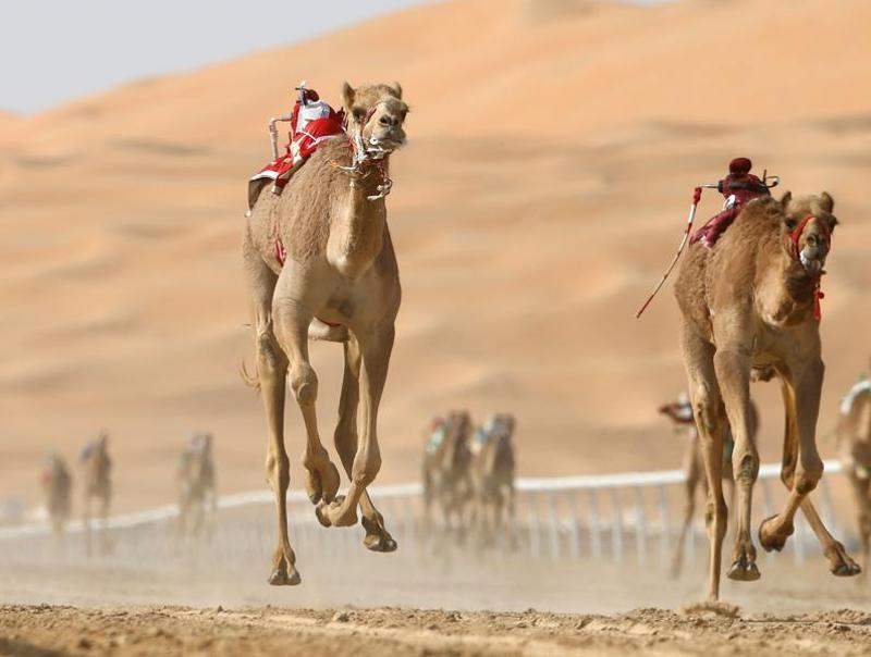 Camels taking part in a race event during the festival.  The festival also features a classic cars show and a fireworks display. (AFP)