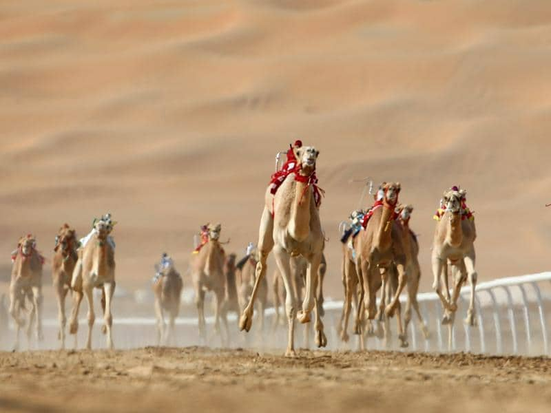 Camels compete at the Liwa 2016 Moreeb Dune Festival, in the Liwa desert, 250 km west of Abu Dhabi. The festival attracts participants from around the Gulf region. (AFP)