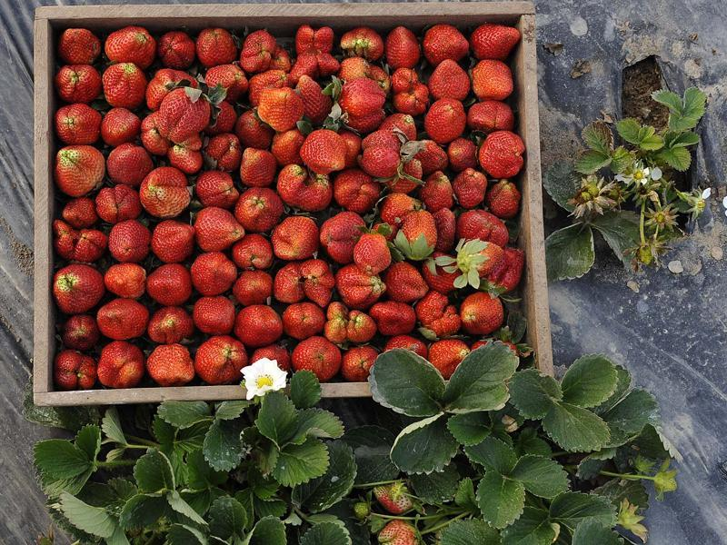 A tray full of yumminess courtesy fresh strawberries at Rukali Mangarh village in Rupnagar district.  (Gurminder Singh/HT Photo)