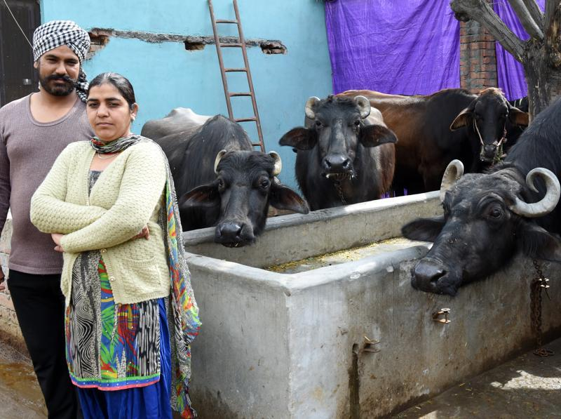 Gurvinder Kaur at the family-run dairy farm at Kohara village in Ludhiana.  (Sanjeev Sharma/HT Photo)