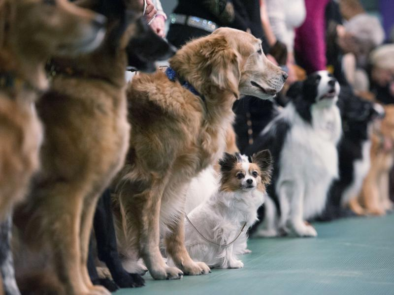 Dogs compete in the obedience competition line up for judges during the annual Westminster Kennel Club dog show at Madison Square Garden on February 15, 2016 in New York City.  (AFP)