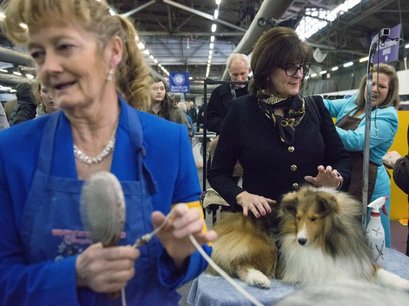 People prepare their Shetland Sheepdog Collie for show. (AFP)