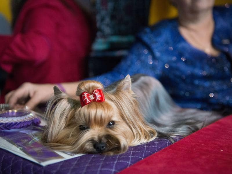 A woman sits with her Yorkshire Terrier. (AFP)