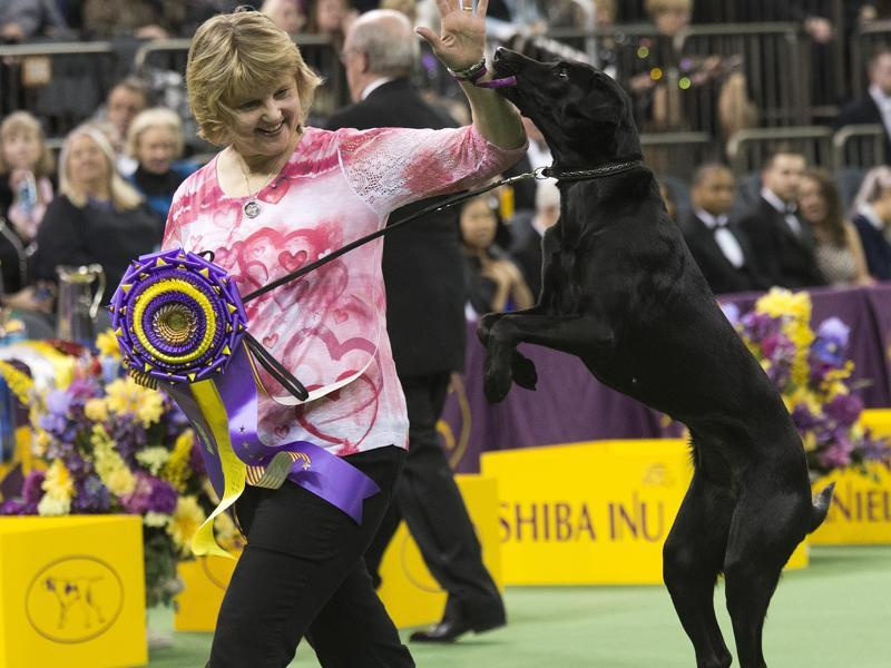 Heart, a Labrador, and her owner/handler, Linday Brennan, of Columbia, NJ, walk off the main ring after picking up her trophy for winning the obedience portion. (AP)