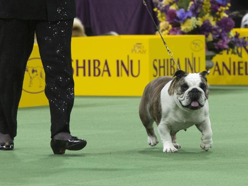 Annabelle, a bulldog, is shown in the ring during the non-sporting-group competition. (AP)