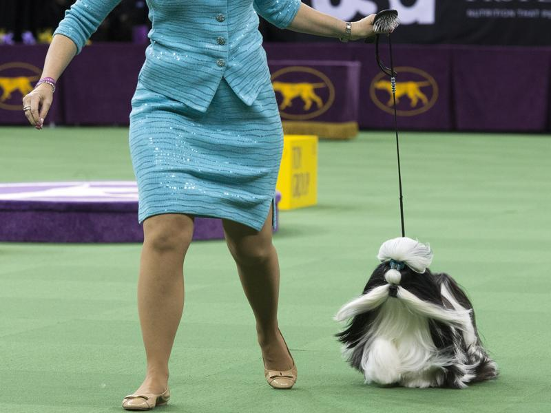 Panda, a shitzu, is shown in the ring during the Toy group competition. (AP)
