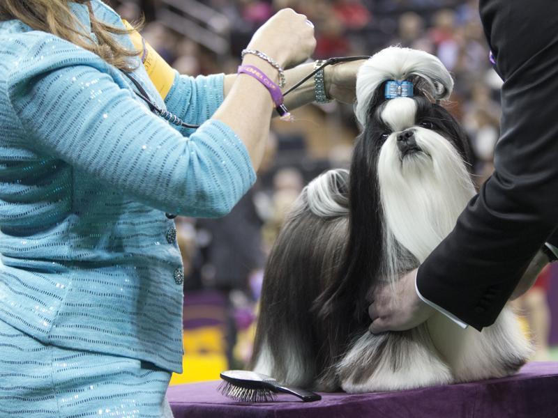 Panda, a shitzu, is inspected by the judge in the ring during the Toy group competition. (AP)