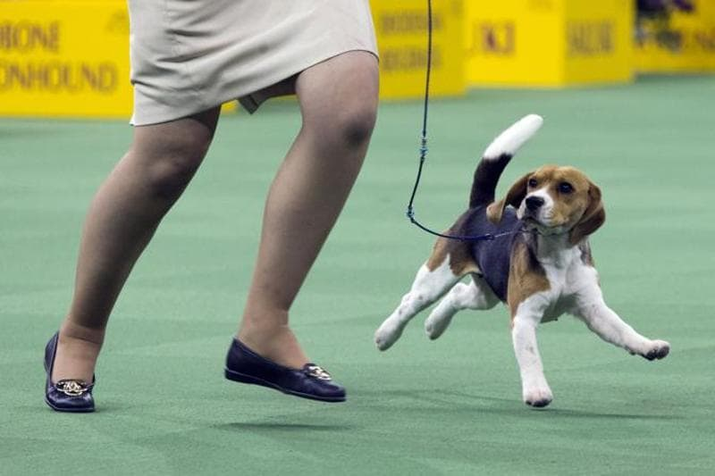 Molly, a 13-inch Beagle from Bangkok, Thailand, is shown in the ring. (AP)