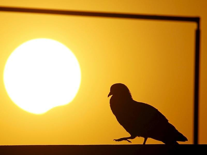 A pigeon is silhouetted as the sun goes into a partial solar eclipse in Kathmandu.  (Reuters)