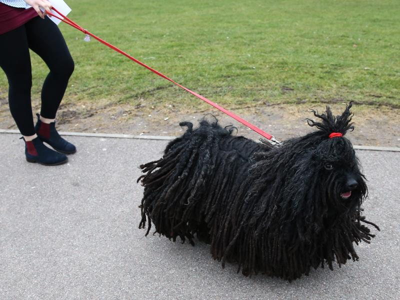 A Hungarian Puli on the first day of the competition on Thursday.  (AFP)