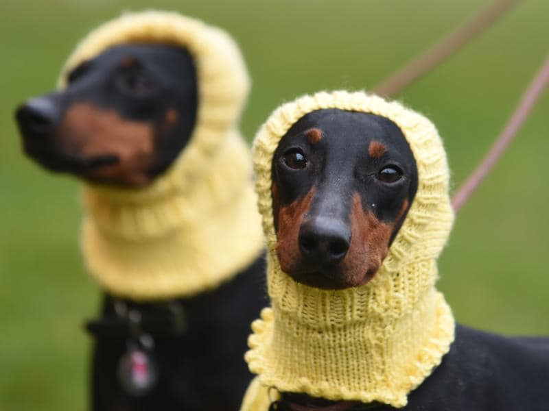Two Manchester Terriers — Betty, left, and Mable, right — arrive on day one  to participate in the show which concludes on Sunday with the awarding of the supreme champion.  (AP)