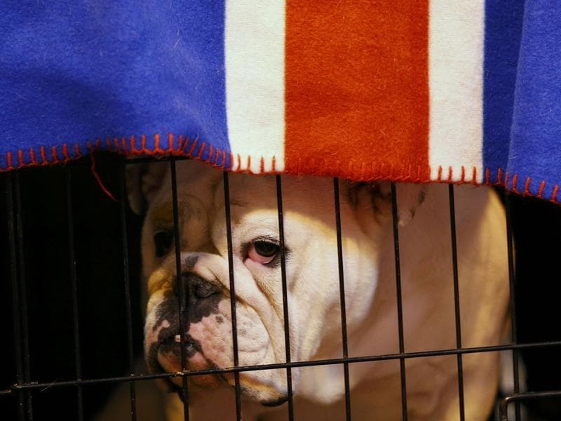 Another participant, a Bulldog, awaits its turn as it looks from its cage.  (REUTERS)