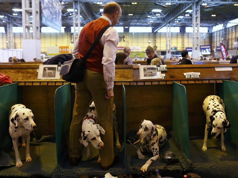 A man stands with his Dalmatians during the first day of the dog show.  (REUTERS)