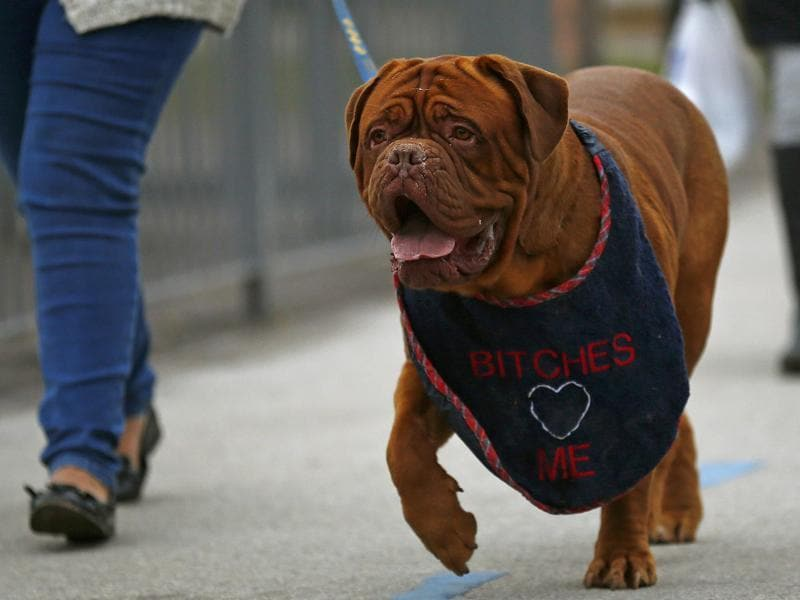 About 22,000 dogs from 47 countries will be competing in the world famous dog show, which is being held at the National Exhibition Centre in Birmingham, central England, from March 10 to 13. (REUTERS)