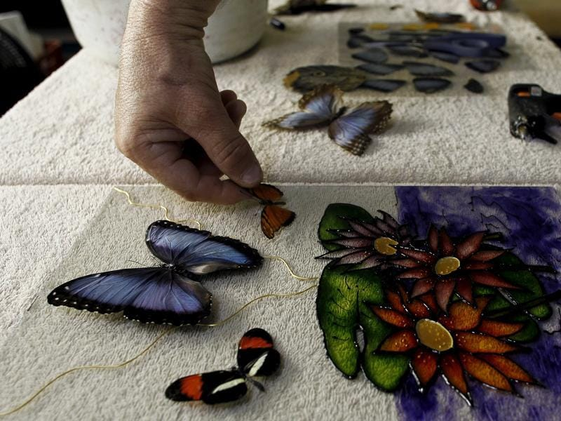 Frander Arroyo, owner of Blue Morpho Butterfly House, Costa Rica has been collecting dead butterflies from his garden and mounting them as handicrafts. He glues a butterfly while making a painting here.  (REUTERS)