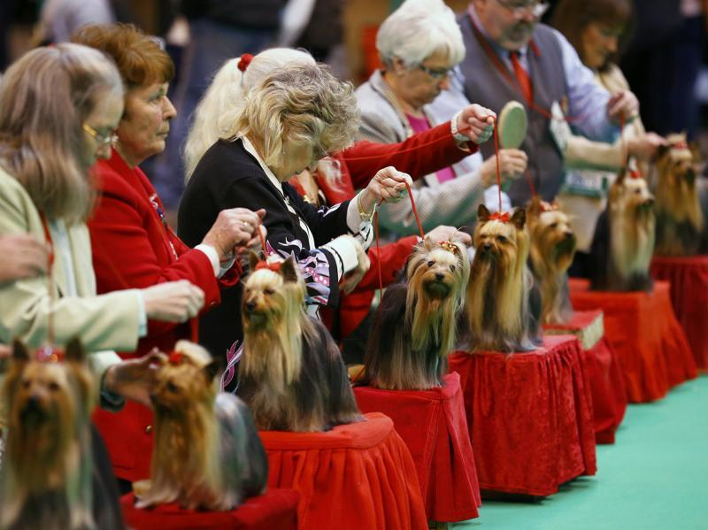Yorkshire Terriers as shown by their owners on the opening day of the contest. (REUTERS)