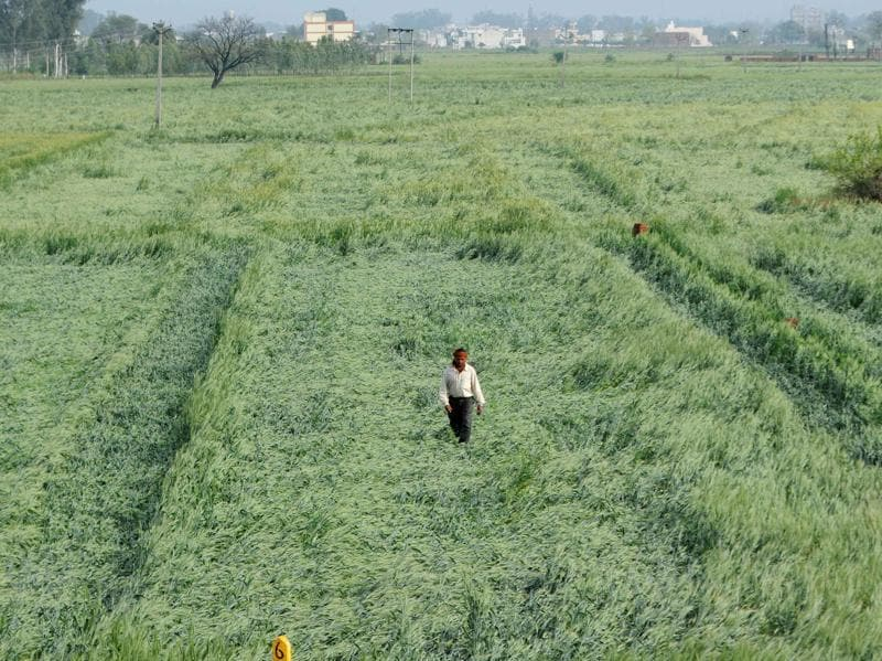 A farmer inspects his flattened wheat crop at Khera Jattan village in Patiala on Saturday. (bharat bhushan/ht)