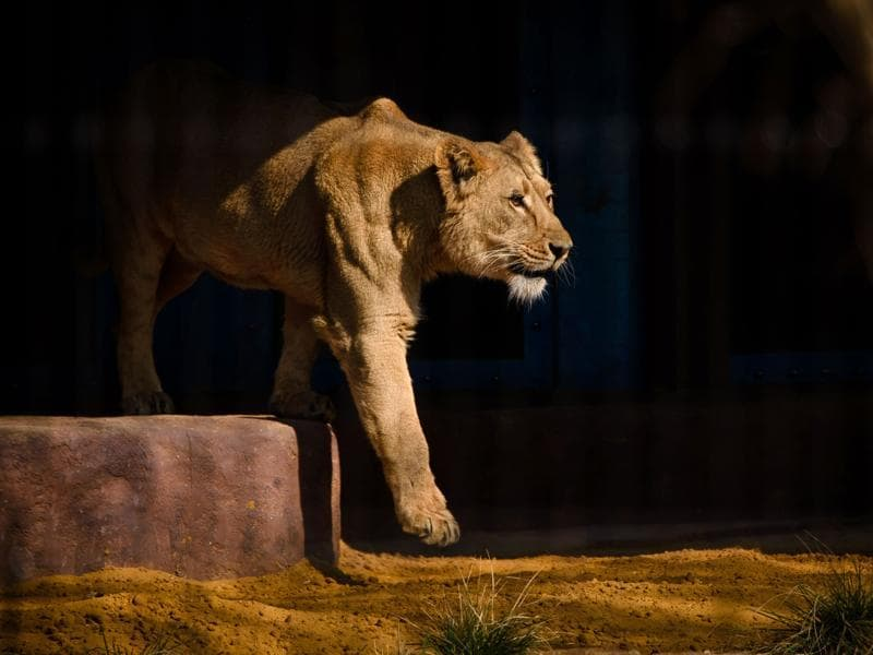 An Asiatic lioness is pictured in her enclosure at the 'The Land Of The Lions' exhibit at London Zoo. (AFP Photo)